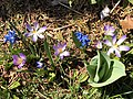 2021-04-04 12 51 58 Siberian Squill and Crocus tommasinianus blooming along Tranquility Court in the Franklin Farm section of Oak Hill, Fairfax County, Virginia.jpg