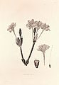 34 Chlidanthus fragrans - John Lindley - Collectanea botanica (1821).jpg