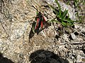 3981 - Zermatt - Zygaenidae.JPG
