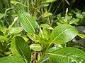 4217Foods Common houseflies Ants of the Philippines 04.jpg