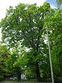 585 oak Ludofino.jpg