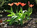 5 Tulpen in der Mittagssonne.JPG