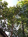5 years guanandi - fuste - Calophyllum brasiliense (7574561544).jpg