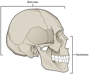 Facial skeleton - Image: 703 Parts of Skull 01
