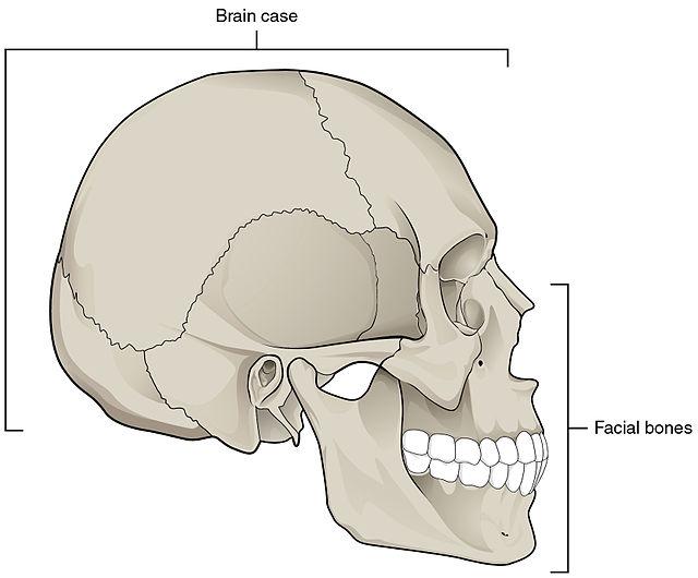 Tulang Wajah (Viscerocranium): Jumlah, Struktur Dan Fungsinya