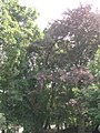 829. sosna rumelijska gdansk.jpg