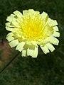 A.integrifolia-cap.-3a.jpg