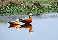 A Pair of Brahminy Duck At Deepar beel.jpg