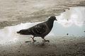 A Pigeon.jpg