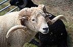 A Portland ram at Shipley, West Sussex, England.JPG