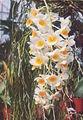 A and B Larsen orchids - Dendrobium densiflorum x farmeri pink 905-14.jpg