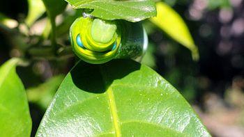 A blue eyed green caterpillar insect.jpg