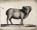 A merino ram. Lithograph after N. Huet, the elder. Wellcome V0021693.jpg