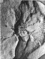 A monograph of the terrestrial Palaeozoic Arachnida of North America photos 36-40 36.png