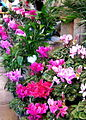 A profusion of cyclamens.jpg