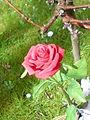 A red rose of the holly sep church yard northampton.jpg