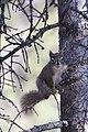 A red squirrel perched on the side of a spruce tree (ef481320-067c-4f69-91fb-4fc120bd7dd4).jpg