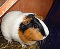 A white, orange and black guinea pig.jpg