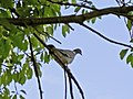 A wood pigeon - geograph.org.uk - 461228.jpg