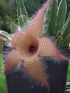 <i>Stapelia gigantea</i> species of plant