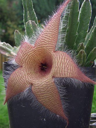 Stapelia gigantea - Carrion plant flower