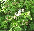 Abelia mosanensis 01.jpg