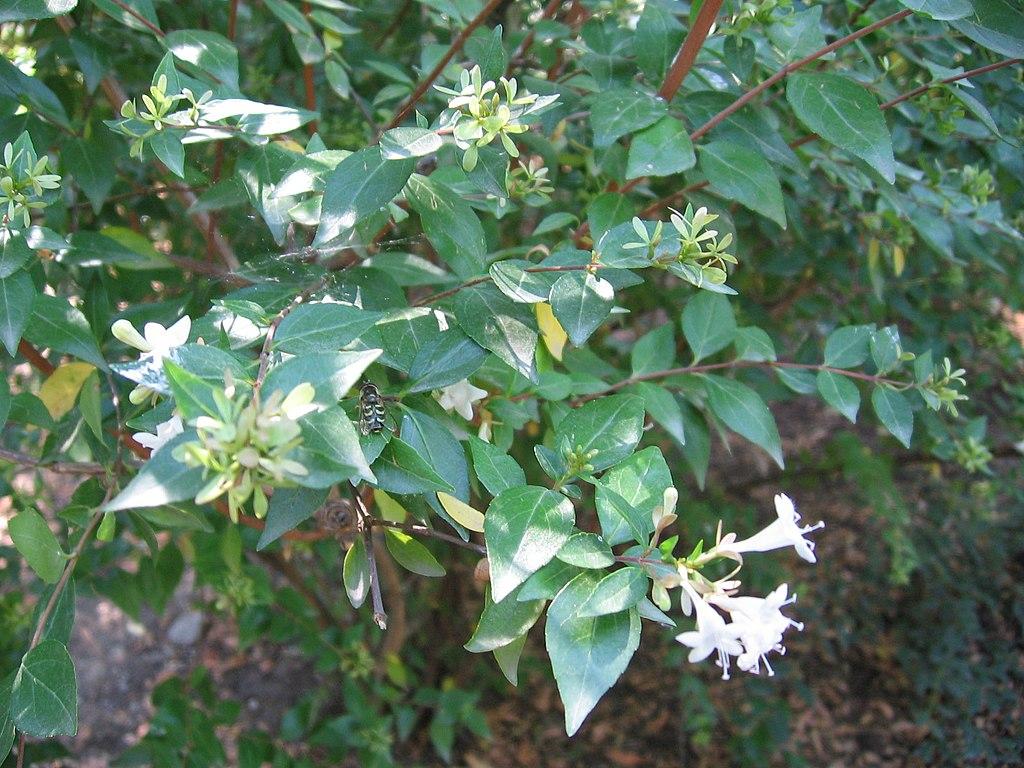 Abelia x grandiflora 02