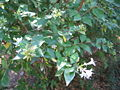 Abelia x grandiflora 02.jpg