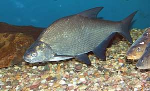 Common bream - Common bream on fish exhibition in Prague
