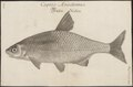 Abramis vimba - 1726 - Print - Iconographia Zoologica - Special Collections University of Amsterdam - UBA01 IZ15000133.tif