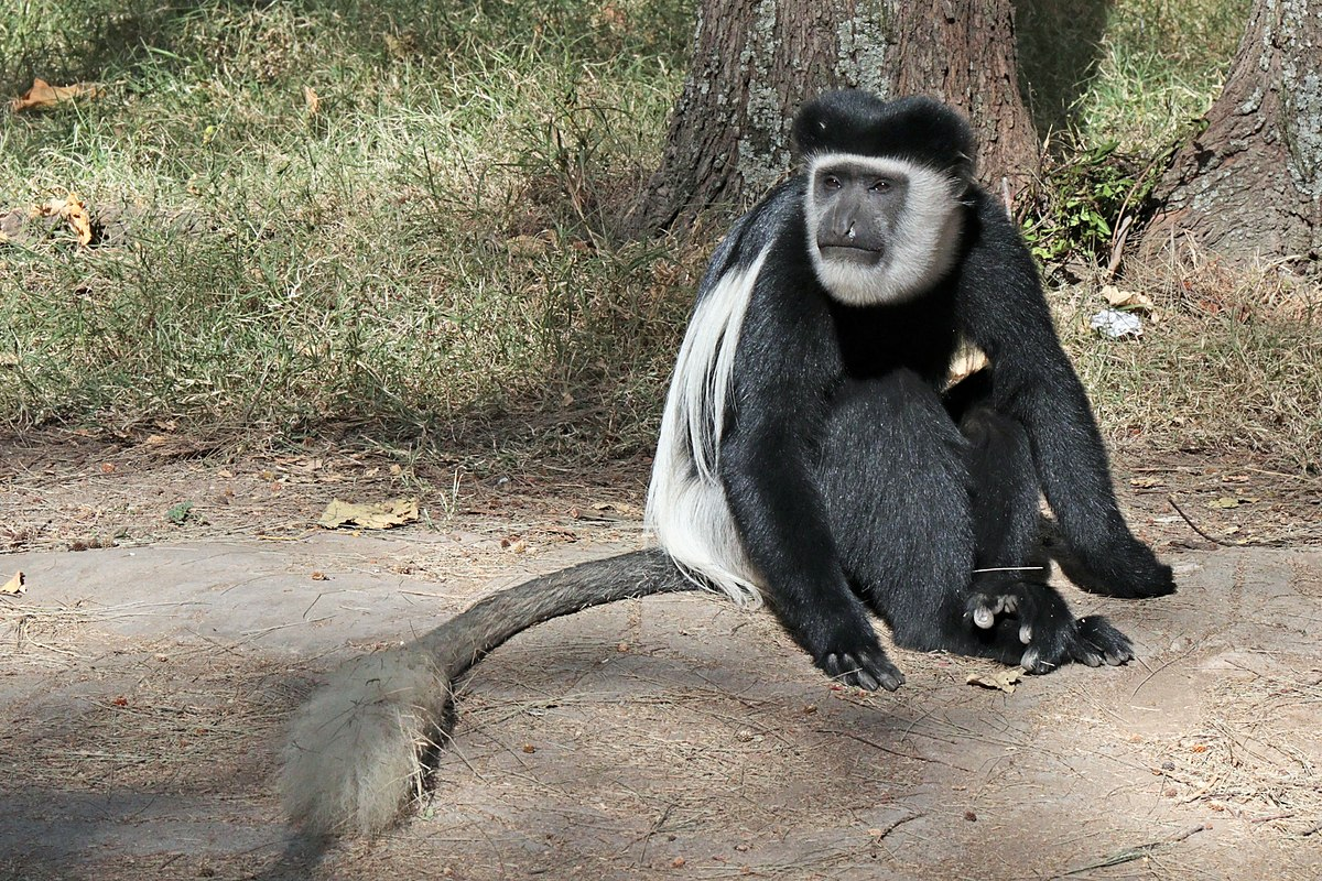 Colobus guereza - Wikimedia Commons