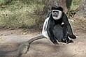 Abyssinian black-and-white colobus (Colobus guereza guereza) male.jpg