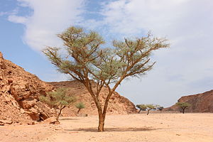 Vachellia seyal - Acacia tree in Ein Khadra Desert Oasis, Nuweibaa, South Sinai, Egypt.