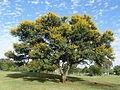 Acacia karroo, habitus, Jimmy Aves Park, e.jpg
