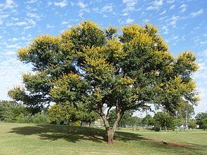 Vachellia karroo - Image: Acacia karroo, habitus, Jimmy Aves Park, e