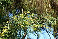 Acacia retinodes - Jardín Botánico de Barcelona - Barcelona, Spain - DSC08958.JPG