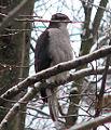 Accipiter gentilis Woodlawn Ontario.jpg