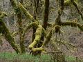 Acer macrophyllum 1214.JPG