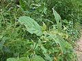 Achyranthes aspera Nepal 12.JPG