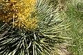 Aciphylla colensoi kz5.jpg