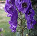 Aconitum carmichaelii 'arendsii' 2.jpg