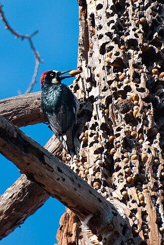 "Acorn woodpecker - Male acorn woodpecker with ""granary tree"" full of acorns"