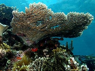 Hexacorallia - A stony coral, Acropora latistella