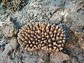 Acropora lutkeni Maldives.jpg