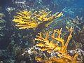 Acropora palmata (elkhorn coral) (San Salvador Island, Bahamas) 1 (15946092620).jpg