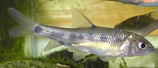 <i>Acrossocheilus yunnanensis</i> Species of fish
