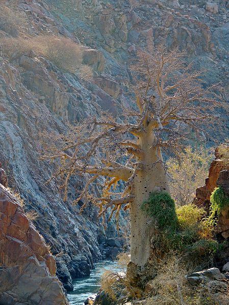 File:Adansonia digitata 3 - African baobab.JPG
