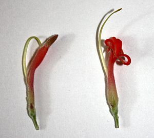 Adenanthos - Flower of A. sericeus, before (left) and after (right) anthesis