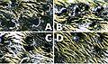 Aegomorphus clavipes puncture2.jpg