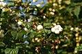 Aeron yr Eira (Symphoricarpos rivularis-albus) Snowberry - geograph.org.uk - 553418.jpg